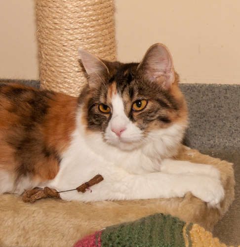 Pickles, an adopted Domestic Long Hair in Ashland, MA