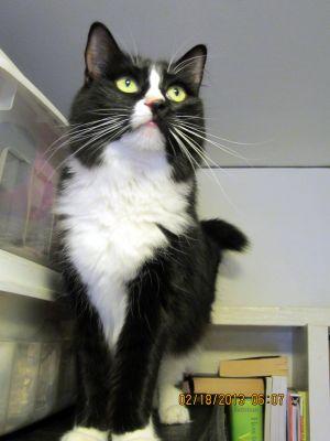Toshi (Tah-she) Domestic Medium Hair Cat