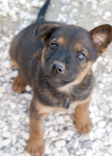 Piglet, an adopted Terrier Mix in Fort Smith, NT