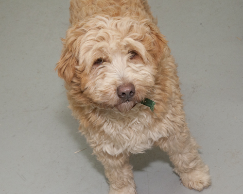 Billy Bob, an adopted Wheaten Terrier & Cocker Spaniel Mix in Fort Smith, NT