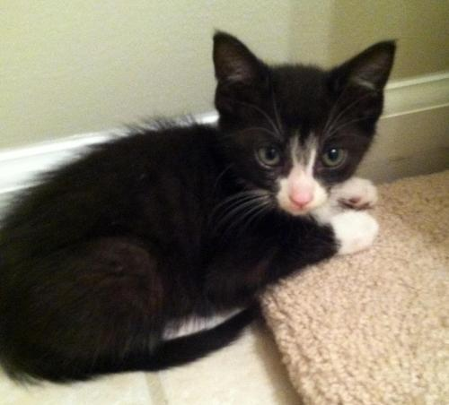 Kiwi, an adopted Domestic Short Hair Mix in Troy, MI