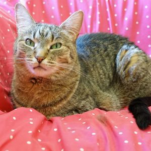 Joy is a beautiful brown tabby with green eyes One look and you will want to cuddle with her She