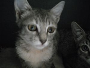Louise Tabby Cat