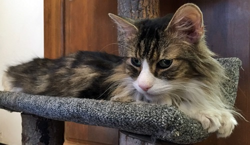 Sox, an adopted Maine Coon & Tabby Mix in Santa Fe, NM