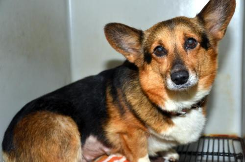 Angel~URGENT~, an adopted Corgi in Bowling Green, KY