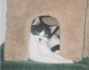 Lulu Domestic Medium Hair Cat