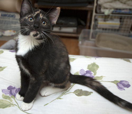 Truffles, an adopted Tortoiseshell & Tuxedo Mix in Newtown, CT