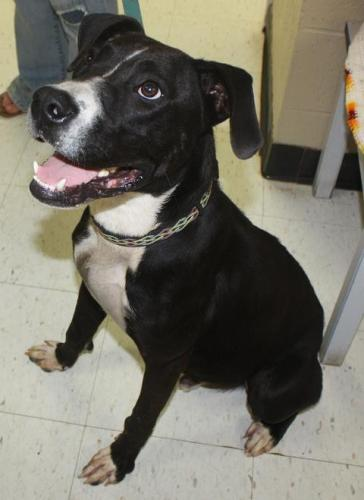 Jose  --  URGENT, an adopted Pit Bull Terrier in Cottageville, WV