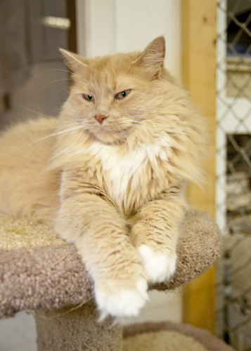 Avalon, an adopted Domestic Long Hair in Fort Smith, NT