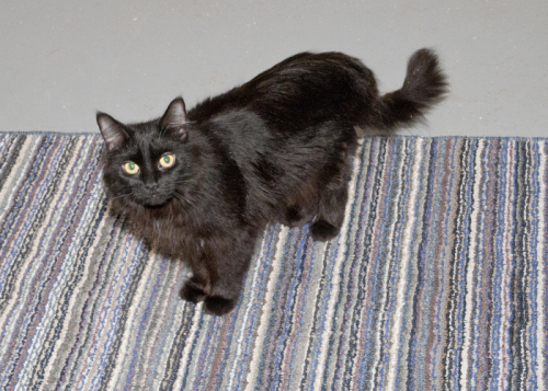 Zelda, an adopted Domestic Long Hair in Fort Smith, NT