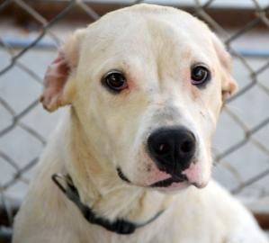 Cricket, an adopted Labrador Retriever & American Bulldog Mix in Shippensburg, PA