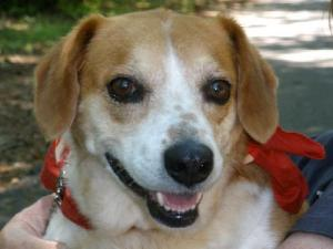 Dixie(VIDEO), an adopted Beagle & Spaniel Mix in Landrum, SC