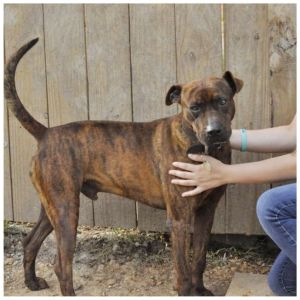 Dog for adoption - Bear, a Whippet & Hound Mix in Kingwood, TX