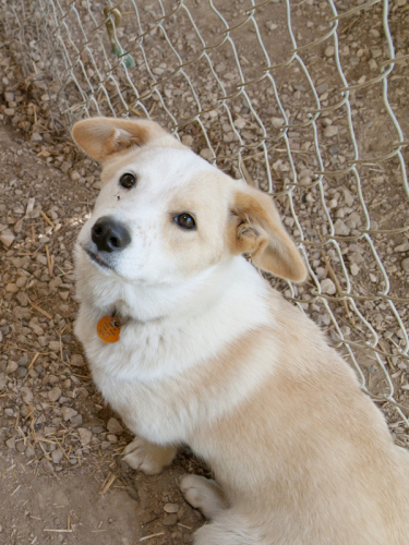 Herbie, an adopted Cardigan Welsh Corgi & Labrador Retriever Mix in Fort Smith, NT