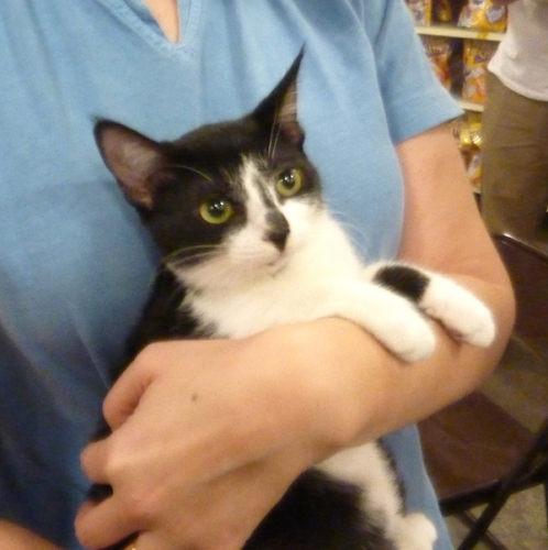 Clara, an adopted Domestic Short Hair in Simpsonville, SC_image-3