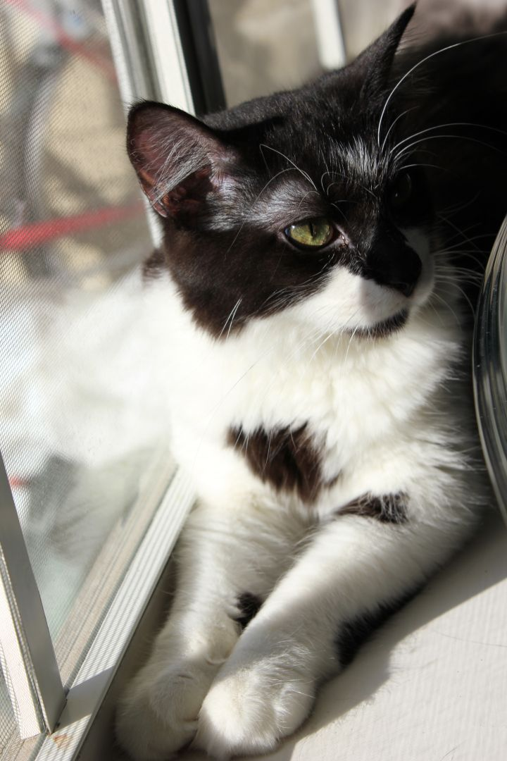 Romeo, an adopted Domestic Short Hair in Fort Worth, TX_image-1