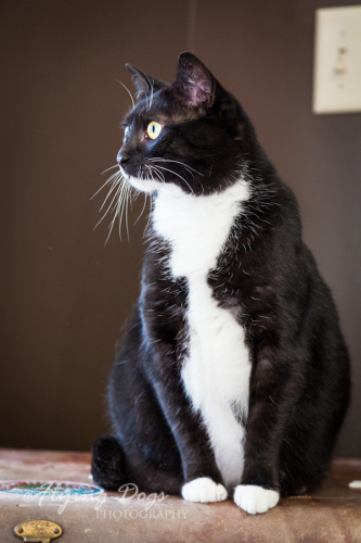 Shell, an adopted Domestic Short Hair in Asheville, NC