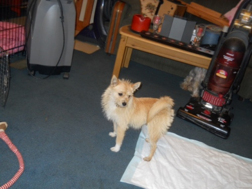 NJ - Josie, an adopted Norfolk Terrier & Terrier Mix in Clayton, NJ