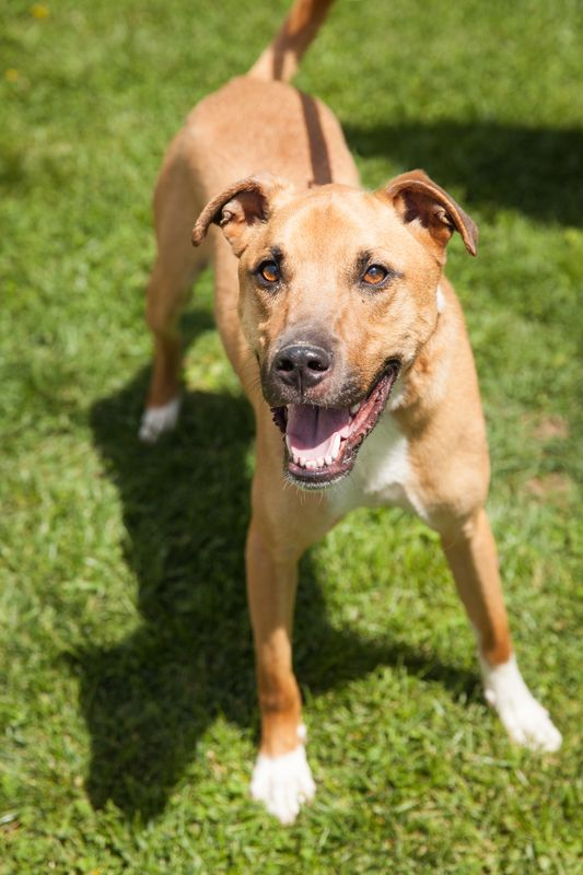 Dewi, an adopted Terrier & Retriever Mix in Asheville, NC