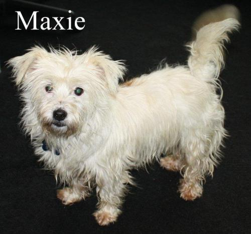 NJ - Maxie, an adopted Poodle & Maltese Mix in Bordentown, NJ