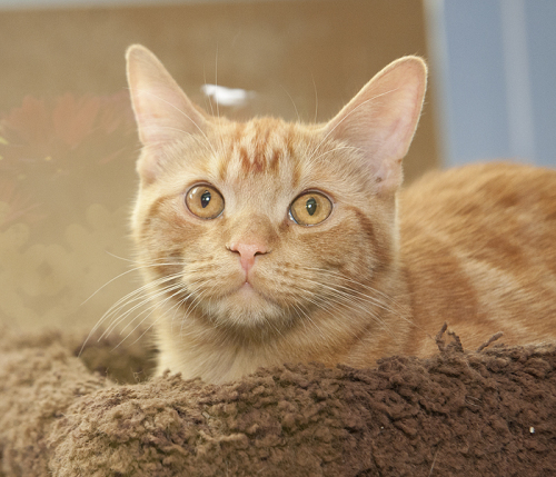 Carrots, an adopted Domestic Short Hair in Fort Smith, NT