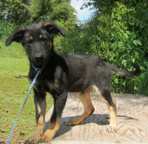 McGraw, an adopted Shepherd & German Shepherd Dog Mix in Frankfort, IL