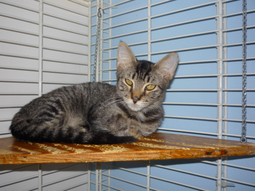 Sal, an adopted Domestic Short Hair in Margate, FL