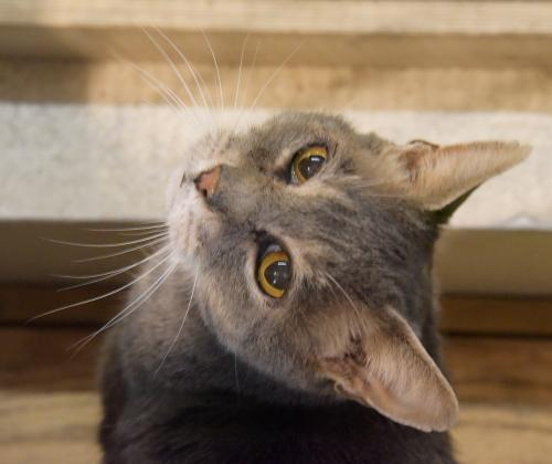 Billy Bob, an adoptable Domestic Short Hair & Tabby Mix in Santa Fe, NM