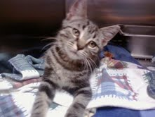 Lex, an adopted Domestic Short Hair & Tabby Mix in Parma, OH