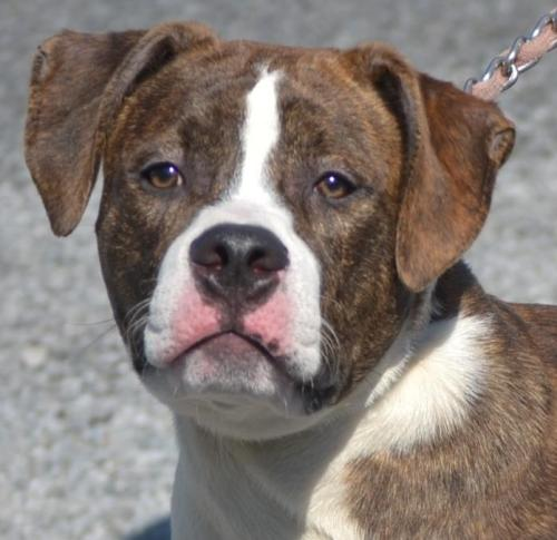Manny, an adopted American Bulldog & Boxer Mix in Warren, OH_image-1