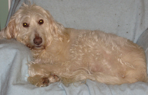 ON - Zoe, an adopted Labrador Retriever & Poodle Mix in Toronto, ON