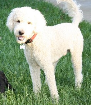 NJ - Cooper, an adopted Golden Retriever & Poodle Mix in Bordentown, NJ