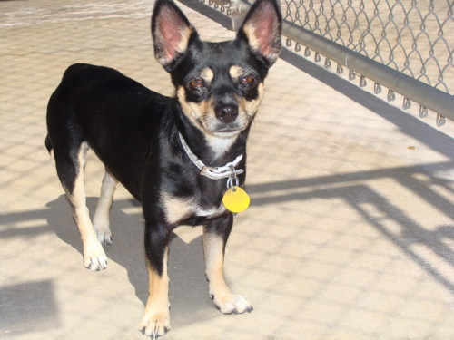 Montana, an adopted Chihuahua Mix in El Paso, TX