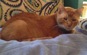 Newman Domestic Short Hair Cat