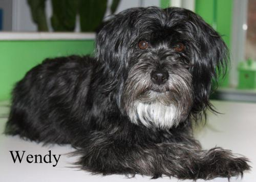 NJ - Wendy, an adopted Cockapoo & Schnauzer Mix in Bordentown, NJ