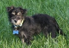 NJ - Misty, an adopted Yorkshire Terrier & Cockapoo Mix in Bordentown, NJ
