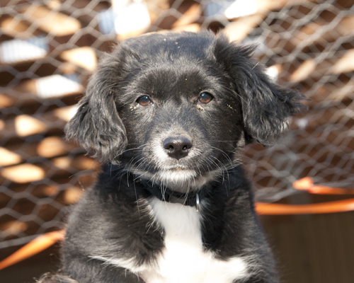 Miss Belle, an adopted Spaniel Mix in Fort Smith, NT