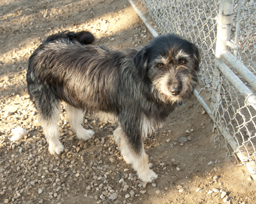 Josie, an adopted Terrier & German Shepherd Dog Mix in Fort Smith, NT
