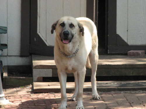 TX  Trapper, an adopted Anatolian Shepherd in Euless, TX