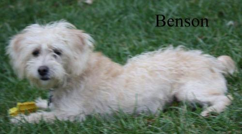 NJ - Benson, an adopted Labrador Retriever & Poodle Mix in Bordentown, NJ