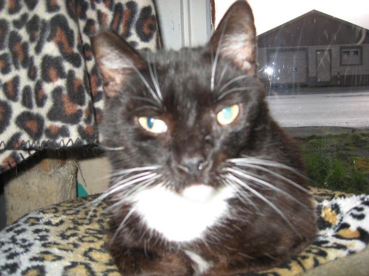 Jazz, an adoptable Domestic Short Hair in Coos Bay, OR