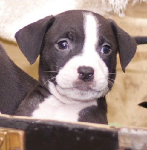 Samuel - 8 wks old, an adopted Pit Bull Terrier & Labrador Retriever Mix in Albany, NY