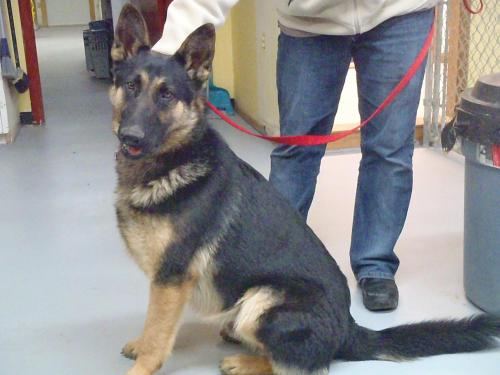 Dryfus, an adopted German Shepherd Dog in Fort Smith, NT