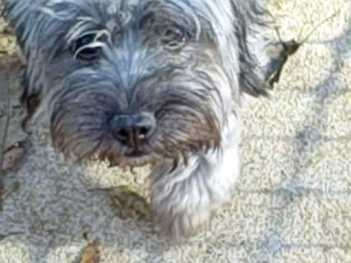 NJ - MOPPET, an adopted Maltese & Poodle Mix in Jackson, NJ