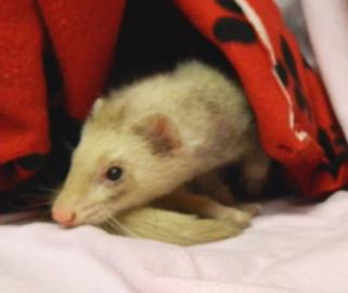 Bailey, an adopted Ferret in Saint Cloud, MN