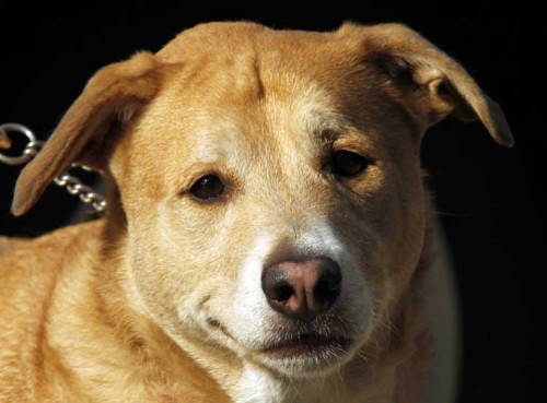 Harpo, an adopted Labrador Retriever Mix in Brooklyn, NY_image-1