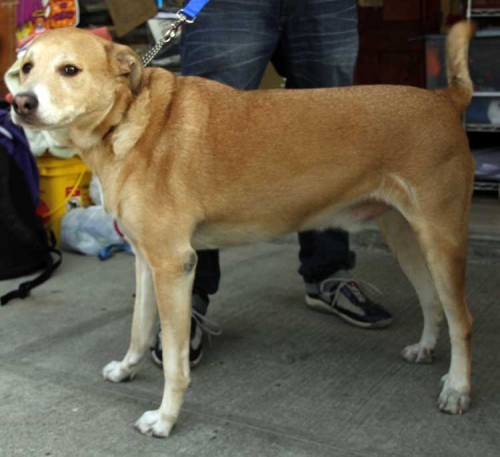 Harpo, an adopted Labrador Retriever Mix in Brooklyn, NY_image-2