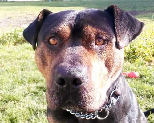 Rex, an adopted Staffordshire Bull Terrier Mix in Richmond, BC