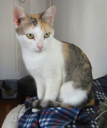 Freya, an adopted Domestic Short Hair in Broomall, PA