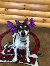 Smooth Fox Terrier Dog: Tobi
